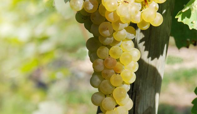 vitigno Pinot Bianco