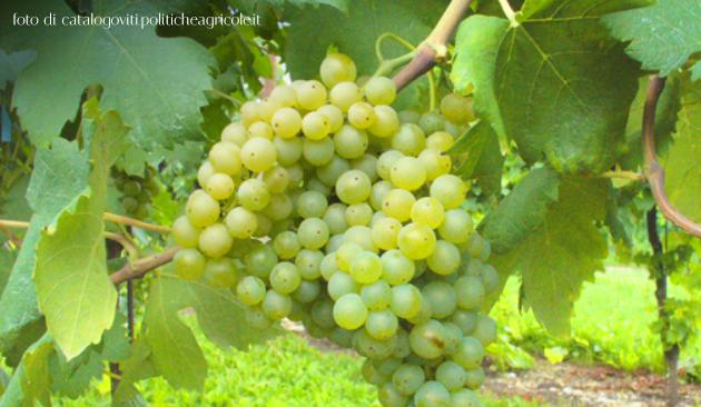 Alionza vitigno Emilia Romagna